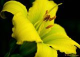 Green Flutter Day Lilly
