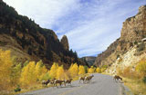 Mountain Sheep Sheep Creek